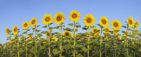 Sonnenblume, helianthus annuus ,Himmel ,blau
