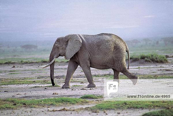 Afrikanischen Elefanten (Loxodonta Africana) Wandern im Feld  Amboseli National Park  Kenia Afrikanischen Elefanten (Loxodonta Africana) Wandern im Feld, Amboseli National Park, Kenia