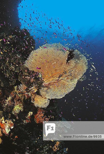 Fisch Pisces Unterwasseraufnahme Philippinen Asien Gorgonie