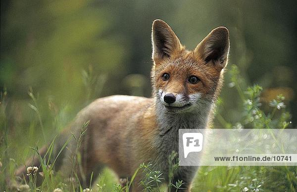 Red fox cub (Vulpes vulpes) standing in field  Germany