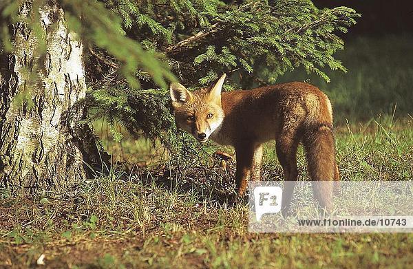 Red fox (Vulpes vulpes) standing in field  Germany