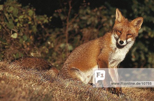 Red fox (Vulpes vulpes) sitting in field  Germany