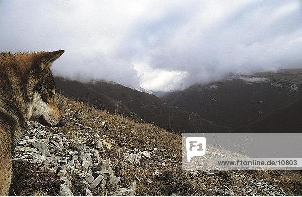 Gray wolf (Canis lupus) on mountain  Abruzzo National Park  Italy