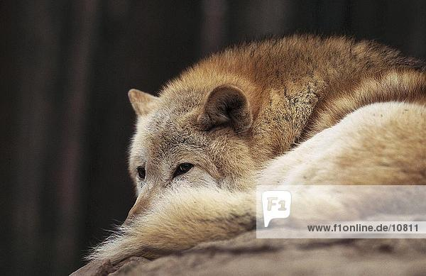 Close-up of Gray wolf (Canis lupus) resting in forest  Merzig  Germany