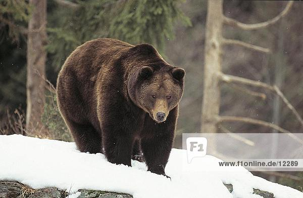 Brownbear (Ursus arctos) walking in snow  Bavarian Forest National Park  Bavaria  Germany
