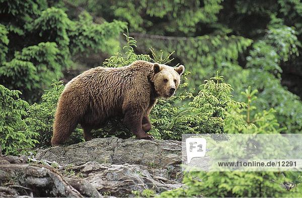 Brownbear (Ursus arctos) walking in forest  Bavarian Forest National Park  Bavaria  Germany