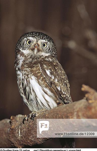 Close-up of Eurasian Pygmy Owl (Glaucidium passerinum) perching on tree  Bavarian Forest National Park  Bavaria  Germany