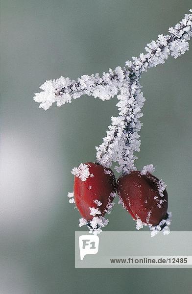 Nahaufnahme der gefrorene Beeren von Rowan Tree (Sorbus Aucuparia)