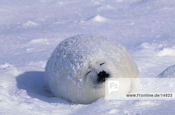 PUP der Sattelrobbe (Phoca Groenlandica) schlafen auf Schnee  St.-Lorenz-Golf  Ille De La Madelaine  Quebec  Kanada PUP der Sattelrobbe (Phoca Groenlandica) schlafen auf Schnee, St.-Lorenz-Golf, Ille De La Madelaine, Quebec, Kanada