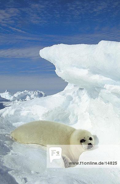 PUP Sattelrobbe (Phoca Groenlandica) liegen auf Eisscholle  St.-Lorenz-Golf  Ille De La Madelaine  Quebec  Kanada PUP Sattelrobbe (Phoca Groenlandica) liegen auf Eisscholle, St.-Lorenz-Golf, Ille De La Madelaine, Quebec, Kanada