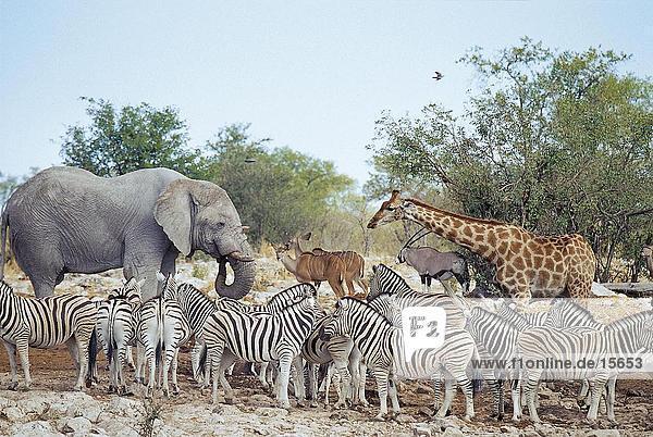 Burchell die Zebras (Equus Quagga selloana)) mit afrikanischen Elefanten (Loxodonta Africana) und größere Kudu (Tragelaphus Strepsiceros)-Antilopen in Feld Etosha National Park  Namibia Burchell die Zebras (Equus Quagga selloana)) mit afrikanischen Elefanten (Loxodonta Africana) und größere Kudu (Tragelaphus Strepsiceros)-Antilopen in Feld Etosha National Park, Namibia