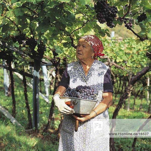 Frau Ernte Trauben in Weingarten