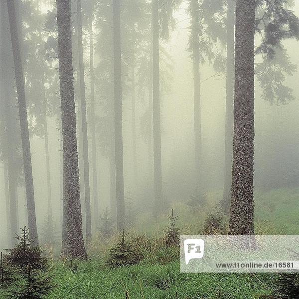 Nadelbäume mit Nebel im Wald bedeckt Nadelbäume mit Nebel im Wald bedeckt