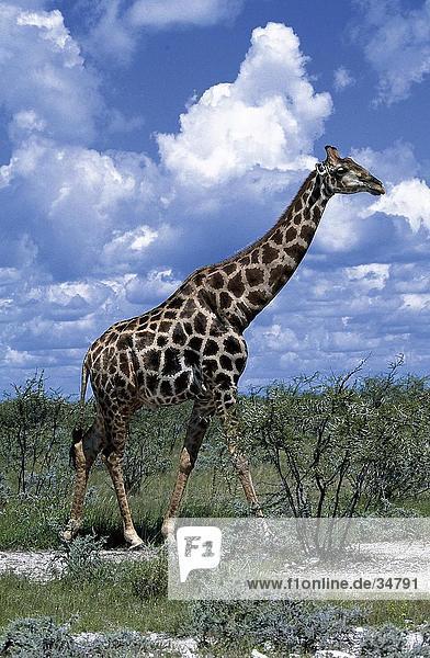 Giraffe (Giraffa Camelopardalis) walking im Wald  Etosha National Park  Namibia Giraffe (Giraffa Camelopardalis) walking im Wald, Etosha National Park, Namibia