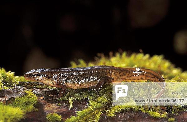 Close-up of Smooth Newt (Triturus vulgaris) on grass  Germany