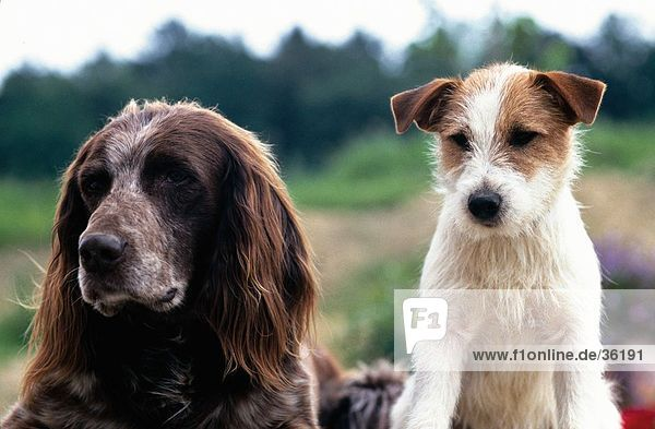 Close-up of Jack Russel and German Longhaired Pointer