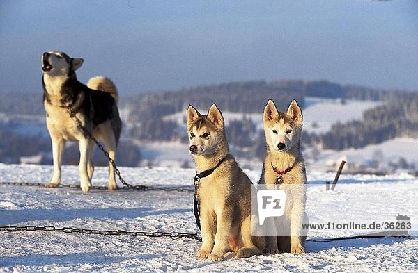 Husky dogs on snowcovered landscape