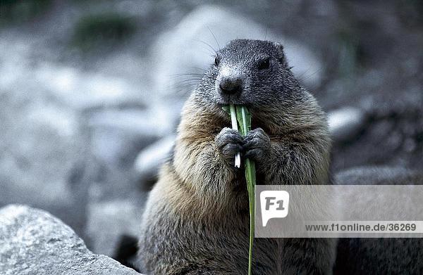 Close-up of Alpine Marmota (Marmota marmota) eating grass