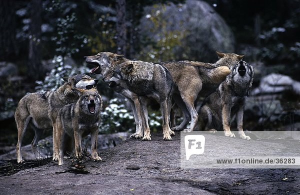 Herd of Grey wolves (Canis lupus) howling in forest  Bavarian Forest National Park  Bavaria  Germany