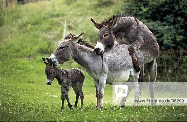 Two donkeys mating in field with foal standing beside it