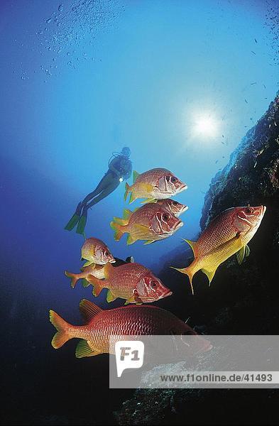 Longjawed Squirrelfish (Sargocentron spiniferum) and scubadiver swimming underwater