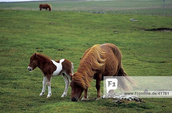 Shetland-Pony mit seiner Fohlen auf Wiese  Unst  Shetland-Inseln  Schottland
