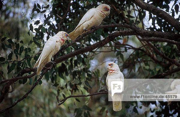 Baudins Corella (Cacatua Tenuirostris) Papageien hocken auf Baum  Sydney  New South Wales  Australien