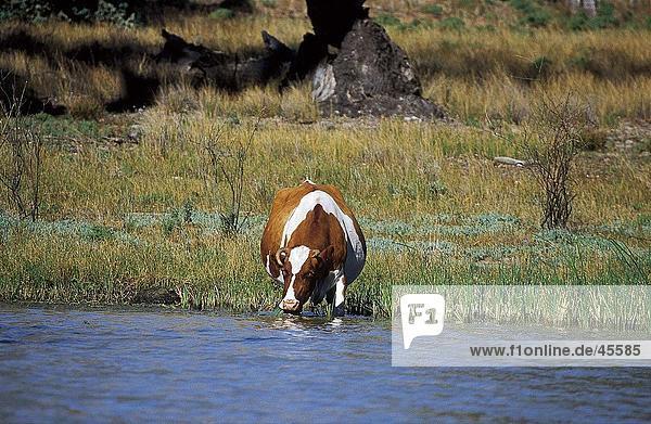 Kuh Trinkwasser aus Lake  New South Wales  Australien