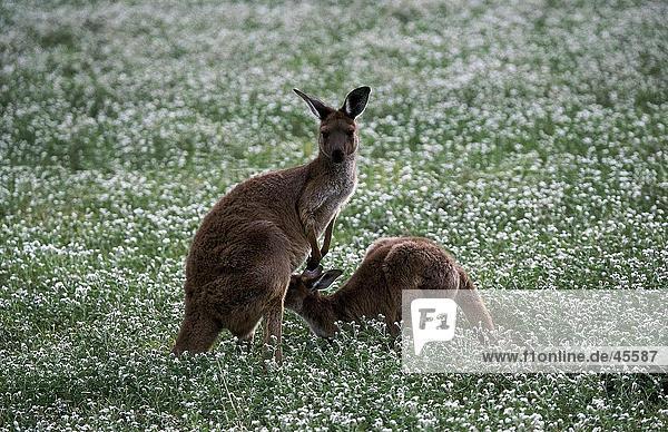 Kangaroo Fütterung seine Jungen in Flower Meadow  Bordertown  Süd-Australien