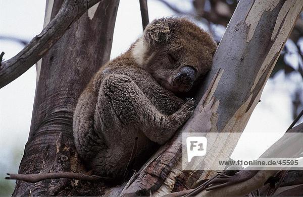 Sleppy Koalabär  Känguru-Insel  Australien