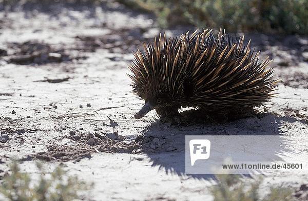 Nahaufnahme der Kurzschnabeligel (Tachyglossus Aculeatus) auf Boden  Australien