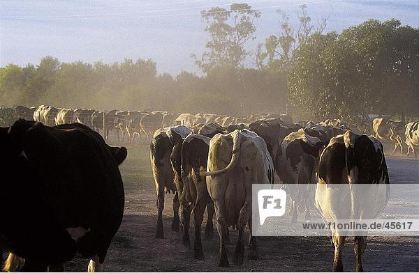 Herde Kühe zu Fuß in Feld  Australien