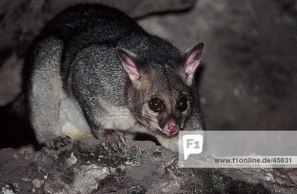 Nahaufnahme der Kusus (Trichosurus Vulpecula) in Höhle  Mt Gambier  Australien