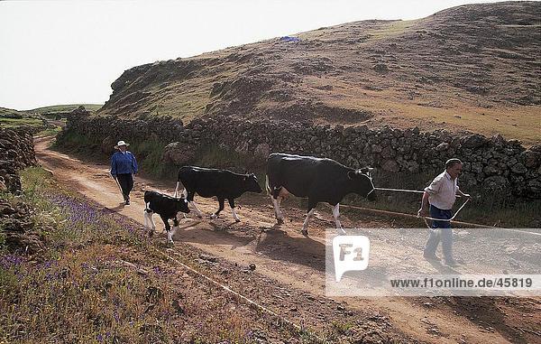 Zwei Menschen mit Vieh auf Straße  El Hierro  Kanaren  Spanien