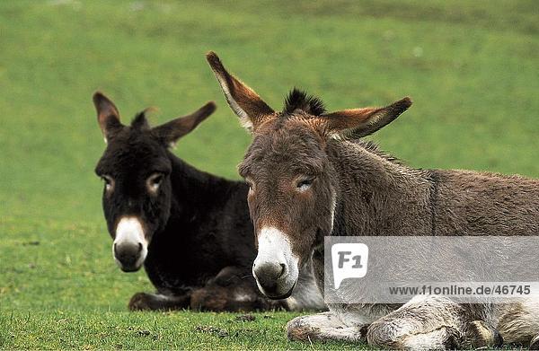 Two donkeys resting in field
