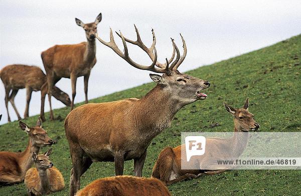 Herde von Red Deer (Cervus Elaphus) im Feld  Bayern  Deutschland Herde von Red Deer (Cervus Elaphus) im Feld, Bayern, Deutschland