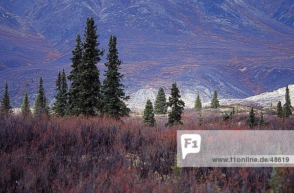 Bäume auf Landschaft  Mt Talkeetna  Wrangell  St. Elias  Glenn Highway  Alaska  USA