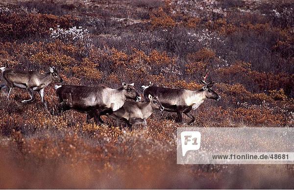 Herde von Karibus (Rangifer Tarandus) Wandern im Feld  Denali National Park  Alaska  USA