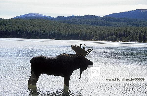 Silhouette of Moose (Alces alces) standing in lake  Maligne Lake  Jasper National Park  Alberta  Canada