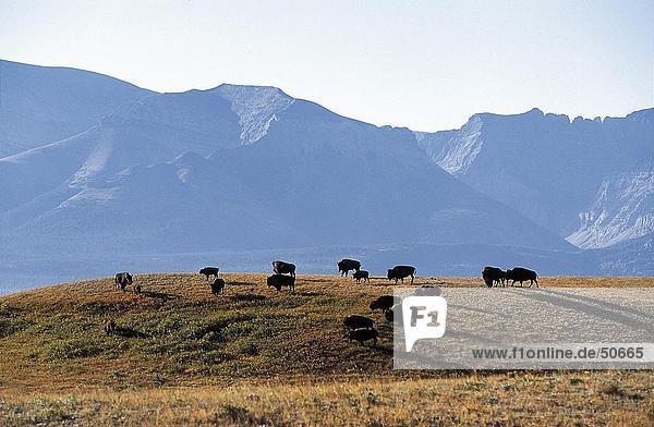 Herd of American Bison (Bison bison) in field  Waterton National Park  Canada