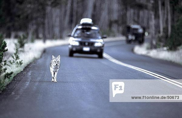 Coyote (Canis latrans) running on road with car in background  Jasper National Park  Alberta  Canada