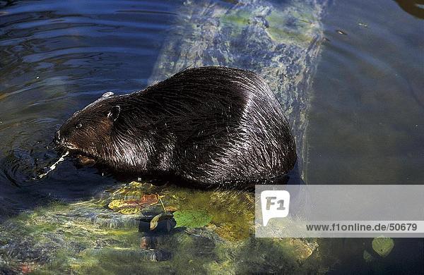 Beaver in water  Jasper National Park  Alberta  Canada