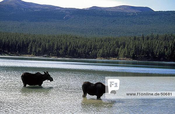 Silhouette of two Moose (Alces alces) standing in lake  Maligne Lake  Jasper National Park  Alberta  Canada