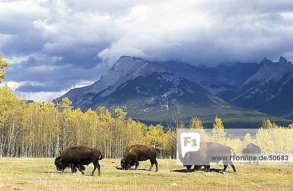 Four American bison (Bison bison) walking in field  Jasper National Park  Alberta  Canada