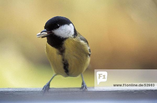 Nahaufnahme der Kohlmeise (Parus major) Vogel