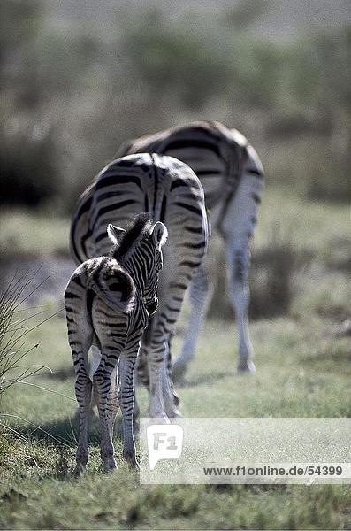 Zwei Zebras mit Fohlen im Feld Zwei Zebras mit Fohlen im Feld
