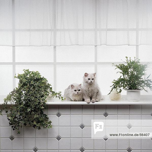 Zwei weiße persische Katzen auf Fenster board Zwei weiße persische Katzen auf Fenster board