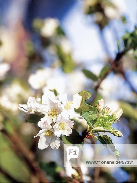 Nahaufnahme der blühenden Blumen der Apfelbaum