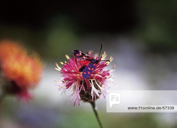 Bestäubung von Schmetterling auf Blume  Nationalpark Triglav  Slowenien