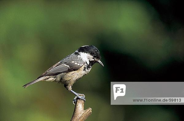 Kohle Tit (Parus Ater) hocken Vogel Zweig
